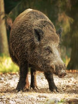 the boar days