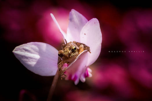 Love for cyclamens