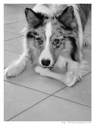 australian shepherd by Introspectre71