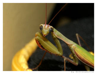 praying mantis II by Introspectre71