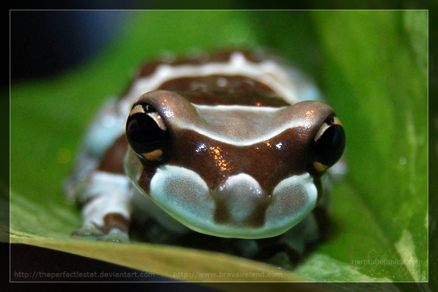 Trachycephalus resinifictrix 2 by theperfectlestat