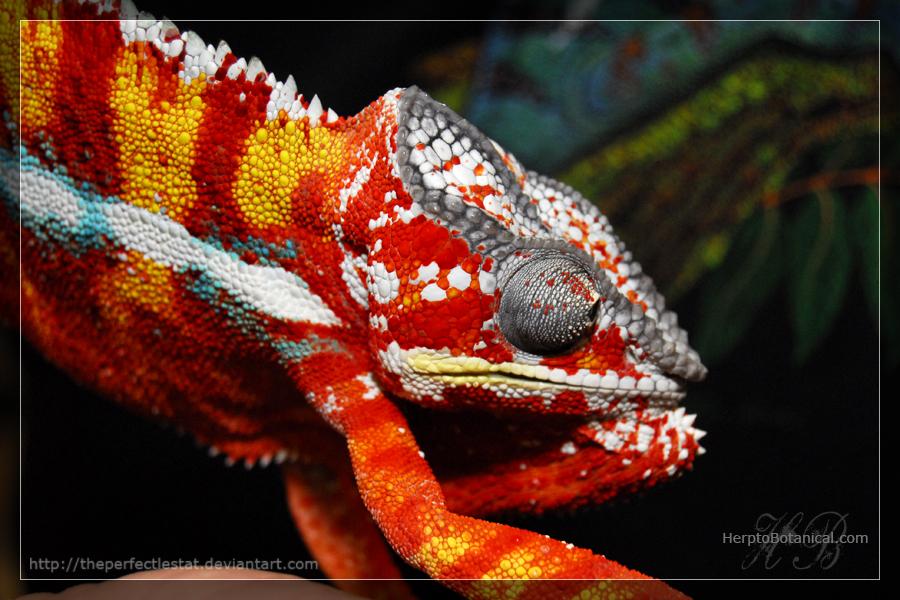 Chameleon by theperfectlestat
