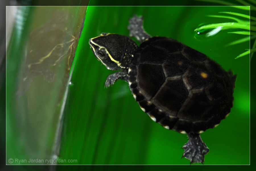 Mini Musk Turtle by theperfectlestat on DeviantArt