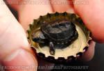 Tiny Baby Musk Turtle