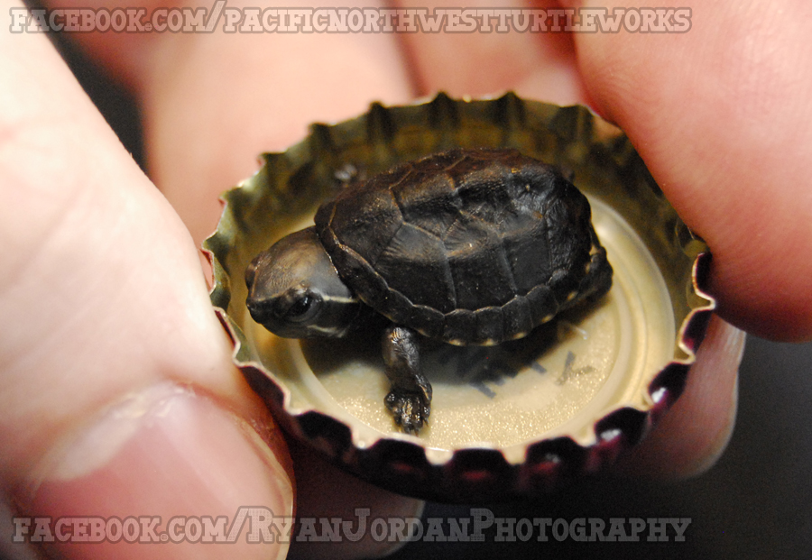 Tiny Baby Musk Turtle by theperfectlestat