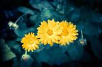Beautiful yellow blossoms