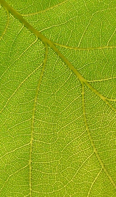 Sunlight thru oak leaf detail