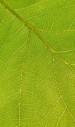 Sunlight thru oak leaf detail by Green-Wizard