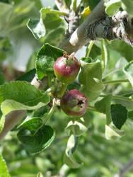 Them Apples