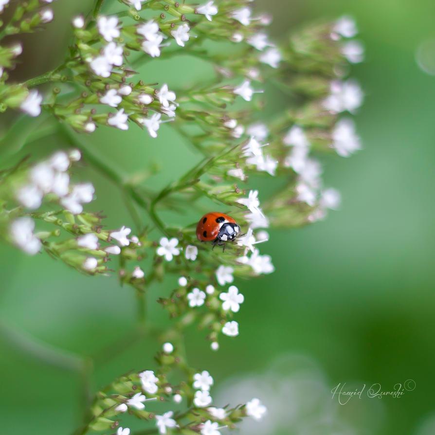 LadyBug by HamidQureshi