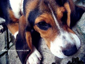 Beagle 16 by sunsetagain