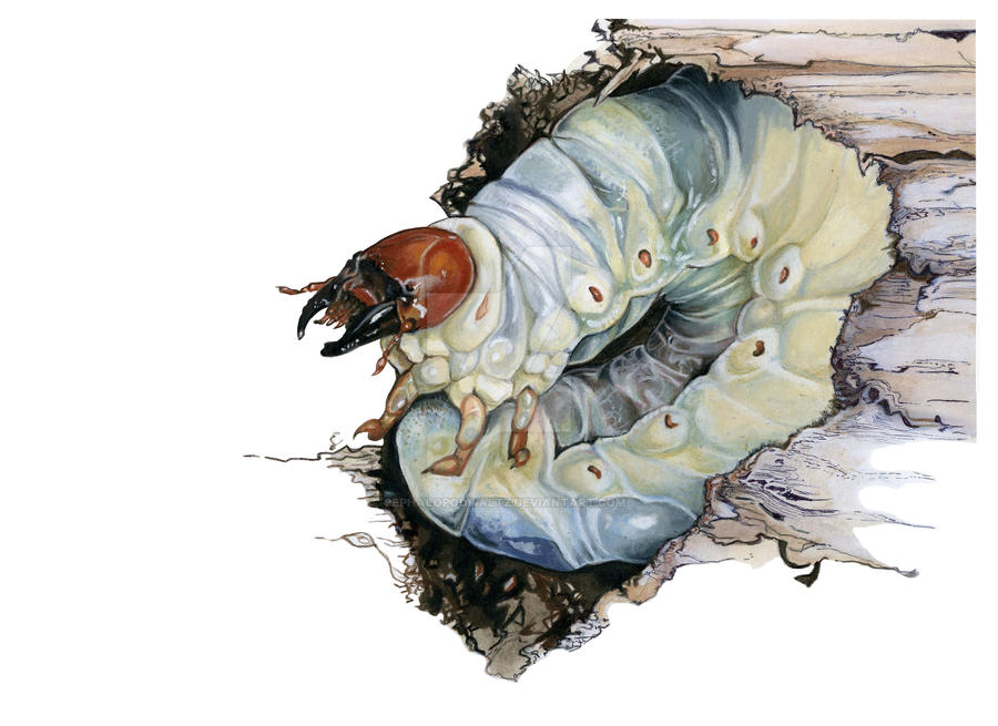 stag beetle larva by Cephalopodwaltz