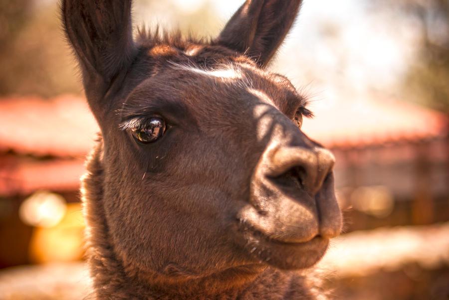 Llama by Cubos