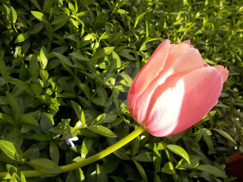 Flora 05/2017 - Tulip - Rose 2 by Shayha