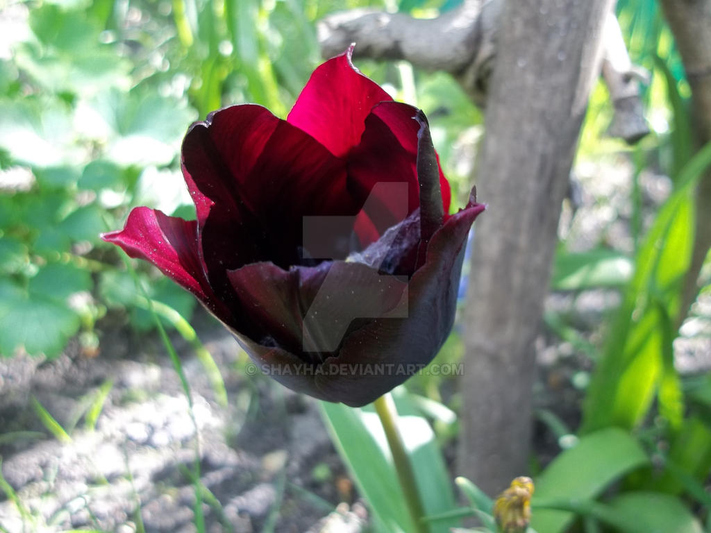 Flora 05/2017 - Tulip - Black 1 by Shayha