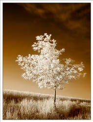 small oak tree -ir- by VisualOrgasmClub