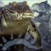 WtA-Mokole Croc V2 100x100 by ScaperDeage
