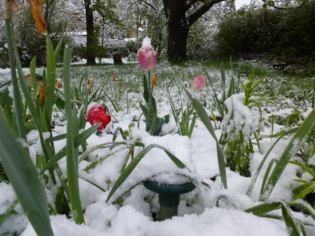 Tulpen im Schnee 2 by HansBr