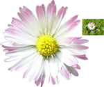 Gaensebluemchen by HansBr