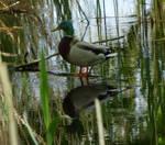 Duck by HansBr