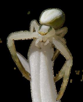 Spider On Petal