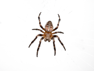 Cross spider by HansBr