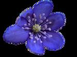 Hepatica nobilis cutout by HansBr
