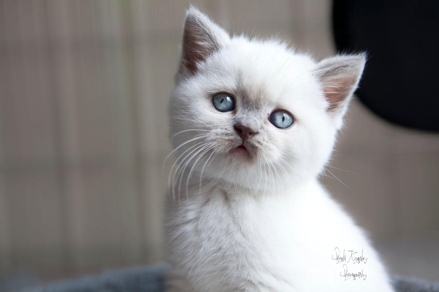 Lilac colourpoint brits kitten2
