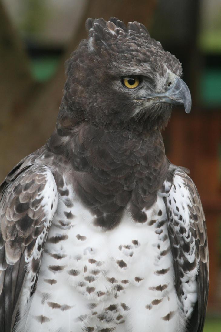 Martial Eagle Size images