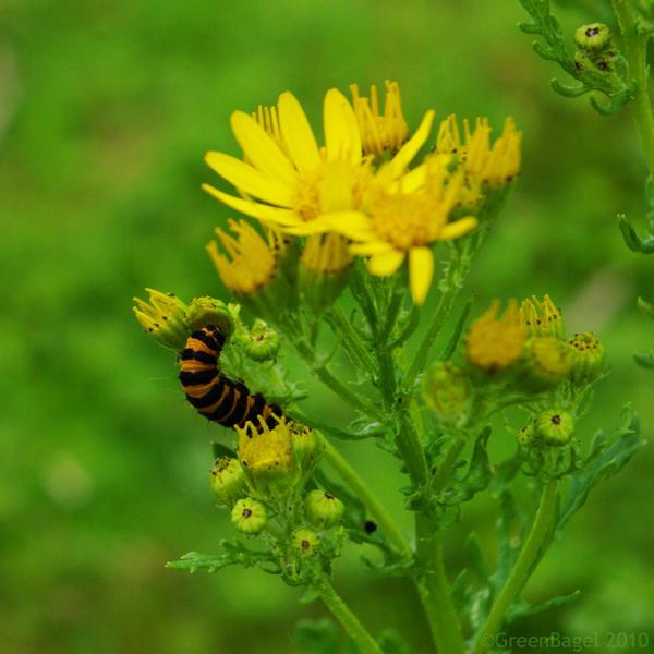 Caterpillar by GreenBagel