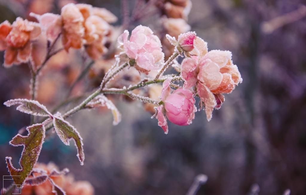 Frozen Roses by AuroraxxBorealis