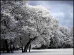 Cotton Trees