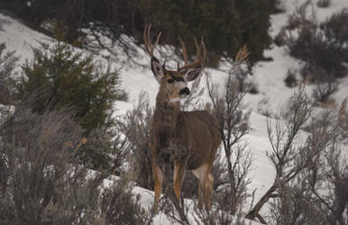 Winter Buck by CaseyNealArtwork