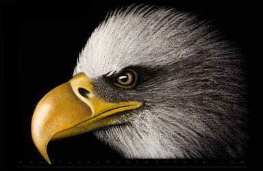 Bald Eagle by CaseyNealArtwork