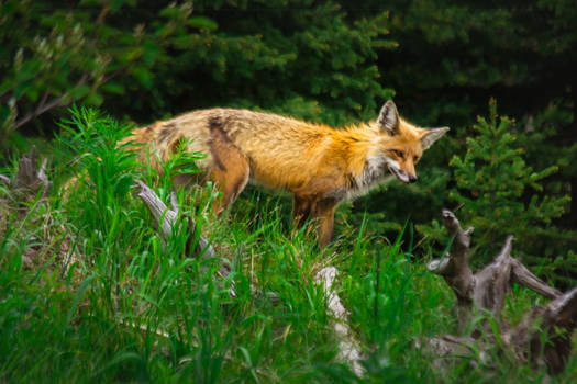 Fox of Mystic Falls