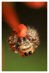 Spider On a Bud by emanesque