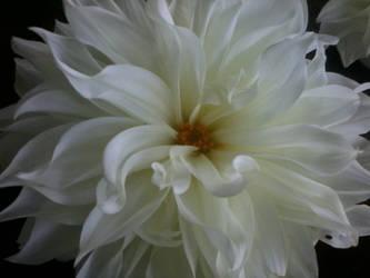 White Flower by babynips99