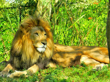 Perfect Day For A Lion