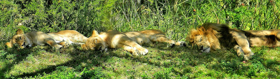 Three Lions Laying In Line