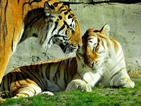 Tiger Love Is Addorable