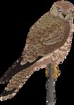 [Guild Wars 2] Falke ... as hawk