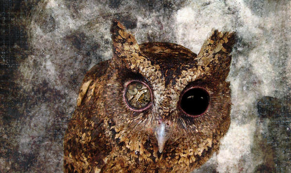 Owl Eyes Closeup by