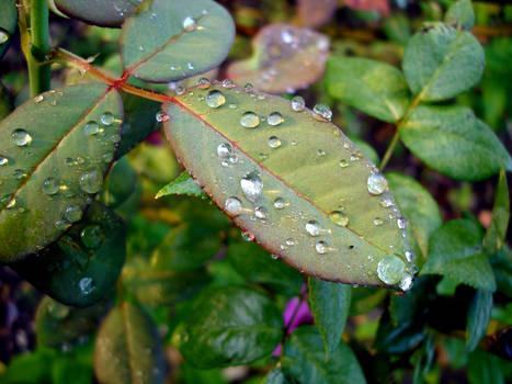 Wet Leaf, the return