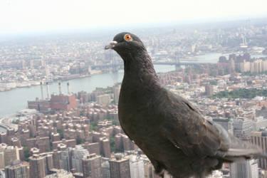 Empire Pigeon