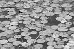 Lily Pads Two