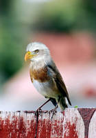 Bald Robin by danfantom