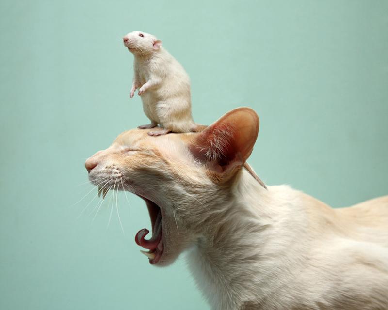 Rat on Cat by danfantom