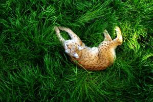 Lynx by dalucia