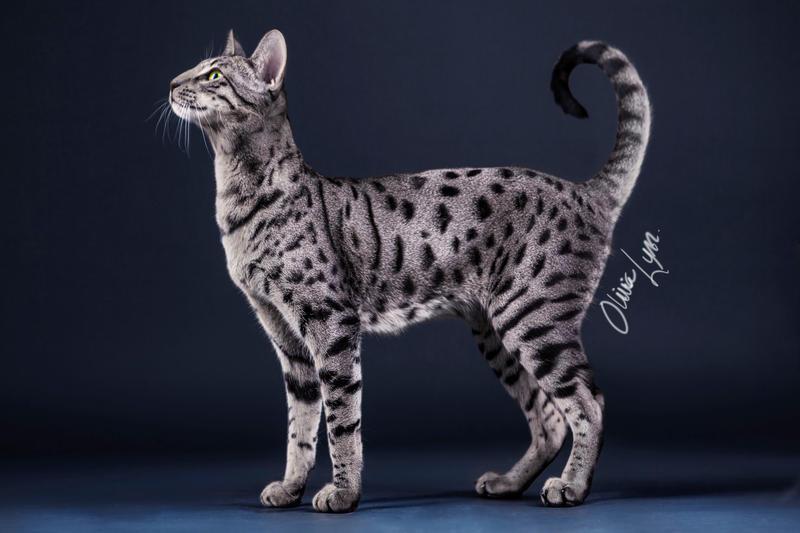 Grey And Black Savannah Cat