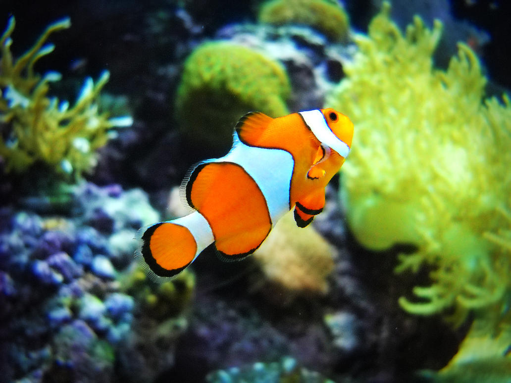 Clown fish stock by natcakes on deviantart for Clown fish size